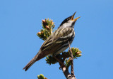 Blackpoll Warbler; male