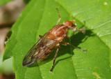 Brachyopa notata; Syrphid Fly species