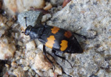 Nicrophorus vespilloides; Boreal Carrion Beetle