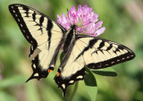 Papilio canadensis; Canadian Tiger Swallowtail; male