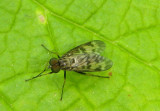 Rhagio punctipennis; Lesser Variegated Snipe Fly