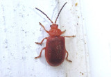 Tricholochmaea kalmiae; Leaf Beetle species