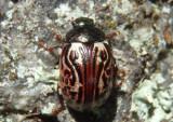 Calligrapha alni; Russet Alder Leaf Beetle