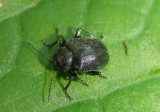 Bromius obscurus; Western Grape Rootworm