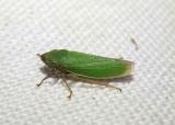 Helochara communis; Bog Leafhopper