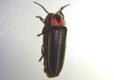 Photinus Firefly species