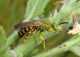 Agapostemon splendens; Metallic Green Bee species; male