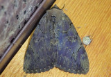 8832 - Catocala cara; Darling Underwing Moth