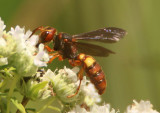 Cerceris bicornuta; Apoid Wasp species