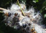 7906 - Datana contracta; Contracted Datana caterpillars