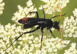 Entypus unifasciatus; Spider Wasp species