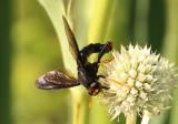 Mydas tibialis; Mydas Fly