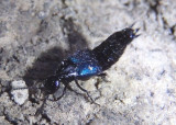 Philonthus caeruleipennis; Large Rove Beetle species