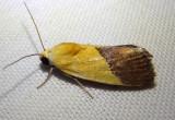9085 - Ponometia semiflava; Half Yellow