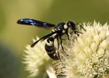Pseudodynerus quadrisectus; Potter Wasp species