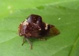 Telamona monticola; Treehopper species