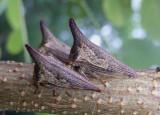 Thelia bimaculata; Locust Treehopper; females
