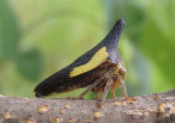 Thelia bimaculata; Locust Treehopper; male