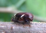 Vanduzea arquata; Black Locust Treehopper