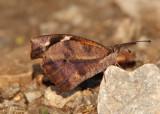 Libytheana carinenta; American Snout