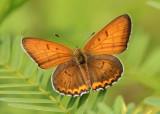 Lycaena hyllus; Bronze Copper; male