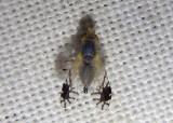 Trupanea actinobola; Fruit Fly species; female