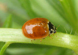 Cycloneda munda; Polished Lady Beetle