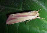 10434 - Dargida rubripennis; The Pink-Streak