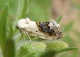 9095 - Ponometia erastrioides; Small Bird Dropping Moth