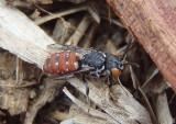 Holcopasites calliopsidis; Cuckoo Bee species