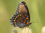 Limenitis arthemis astyanax; Red-spotted Purple