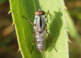 Ozodiceromyia notata; Stiletto Fly species