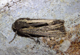 9393 - Resapamea stipata; Four-lined Borer Moth
