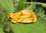 9766 - Cirrhophanus triangulifer; Goldenrod Stowaway
