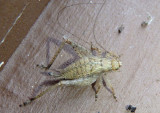 Hapithus agitator; Restless Bush Cricket; female nymph