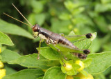 Melanoplus gracilis; Graceful Grasshopper; female