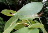 Pterophylla camellifolia; Common True Katydid; female