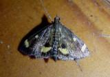 5056 - Pyrausta generosa; Pyralid Moth species