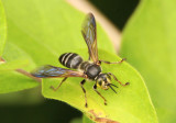 Tachytes guatemalensis; Square-headed Wasp species; male