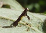0594 - Caloptilia belfragella; Leaf Blotch Miner Moth species