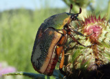 Cotinis nitida; Green June Beetle