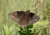 Erynnis baptisiae; Wild Indigo Duskywing