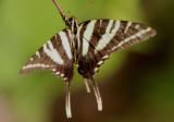 Eurytides marcellus; Zebra Swallowtail