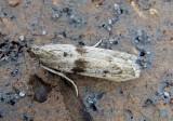 5944 - Homoeosoma deceptorium; Pyralid Moth species