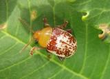 Blepharida rhois; Sumac Flea Beetle