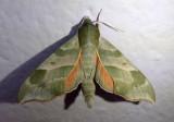 7885 - Darapsa myron; Virginia Creeper Sphinx