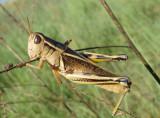 Melanoplus bivittatus; Two-Striped Grasshopper; female