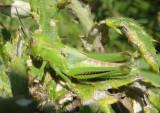 Melanoplus differentialis; Differential Grasshopper nymph