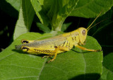 Melanoplus differentialis; Differential Grasshopper
