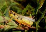 Melanoplus femurrubrum; Red-legged Grasshopper; male